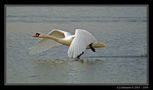 Swan Of by andy-j-s