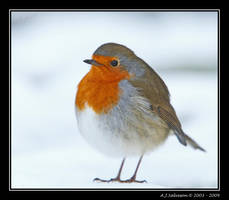 Snow Robin by andy-j-s