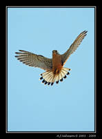 Kestrel Hovering by andy-j-s