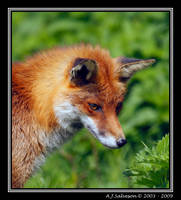 Fox II by andy-j-s