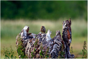 Spot The Little Owl by andy-j-s