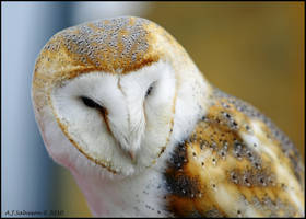 Barn Owl by andy-j-s