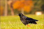 Autumnal Crow by andy-j-s