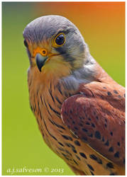 Male Kestrel. by andy-j-s