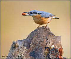 Nut Hatch. by andy-j-s