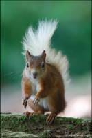 Red Squirrel by andy-j-s