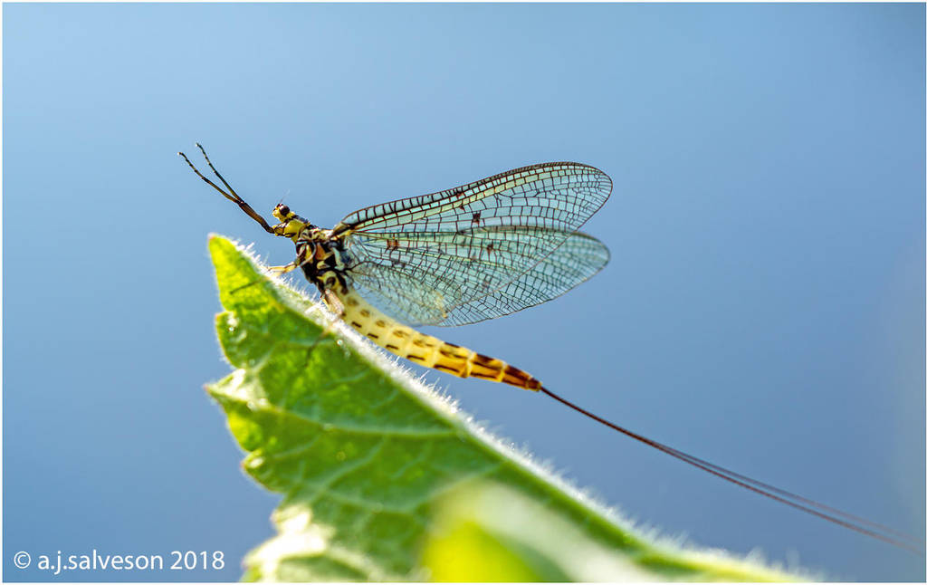 Mayfly by andy-j-s