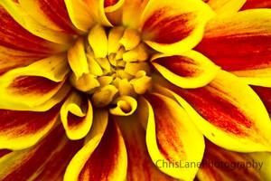 Fiery Flower by ChrisLanePhotography