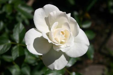 A White Rose by BloodCreek20