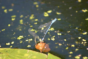 Mating time for the Dragonflies by BloodCreek20
