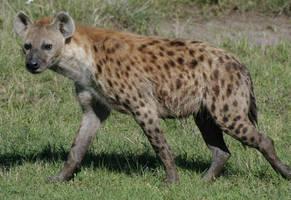 Kenyan Hyena by ratujoe