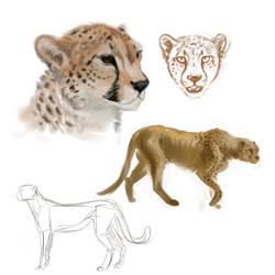 Warm up study: Cheetahs by Berk-shire