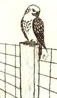 Falcon by LucidArtist83