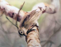 Woodpecker Finch|Study 2 by N-Deed