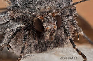 hairy moth by LeronMasoN