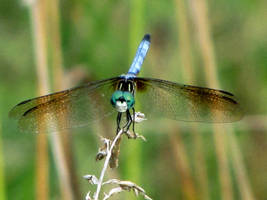 perched blue dragonfly by DisneyPrincessNeeNee
