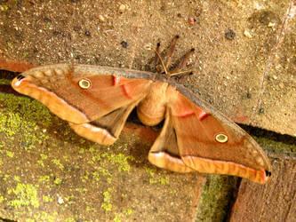 A Polyphemus Moth by DisneyPrincessNeeNee