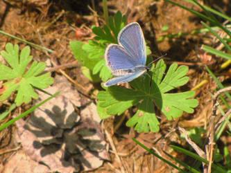 blue moth on a clover by DisneyPrincessNeeNee