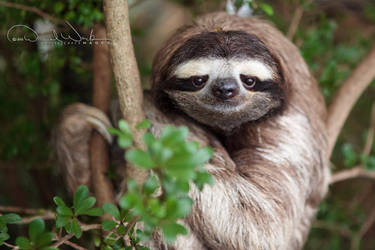 Leno the Sloth by dannywork
