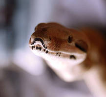 Red-Tailed Boa by Auralous