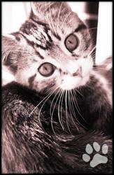 My new kitten -- Kiara by Auralous