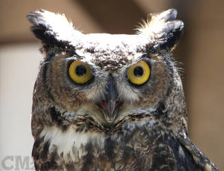 Great Horned Owl by Ciameth