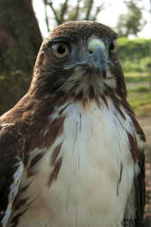 Juvenile Red-tail Portrait by Ciameth