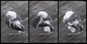 Western Gull Preening Sequence by Ciameth