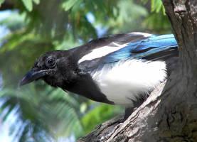 Black-Billed Magpie by Ciameth