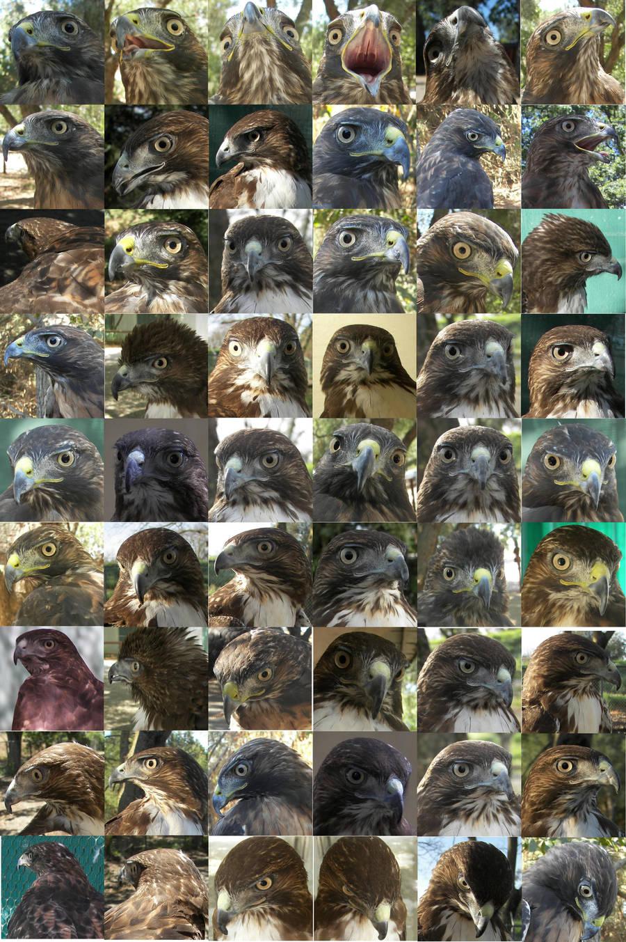 Hawk head different angles ref by Ciameth
