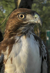White Chested Red-tail by Ciameth