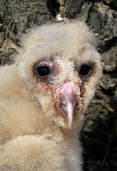 Portrait of a Young Barn Owl by Ciameth