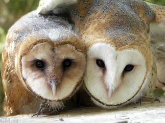 Barn Owl Siblings by Ciameth