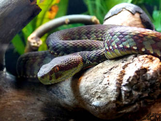 Beautiful Pit Viper by Ciameth