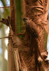 Speckled Mousebird Gathering Nest Material by Ciameth