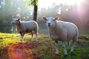 Morning sheep by stephane-bdc