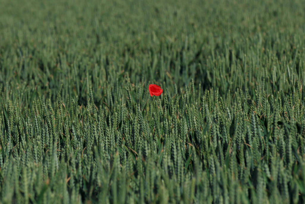 Lonely poppy by stephane-bdc