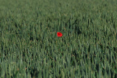 Lonely poppy by stephane-bdc