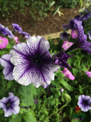 Petunia by vafiehya