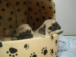 Pugs by Charismata