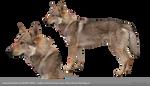 PNG STOCK: Czechoslovakian Wolfdog by MAKY-OREL