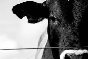 cow 2 by ittybittymoephog