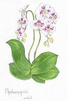 phalaenopsis orchid-1 by Zaphkiellane