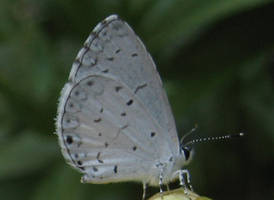 Little White Butterfly by Verdaera