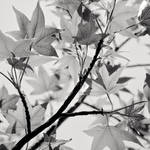 Maple by Jez92