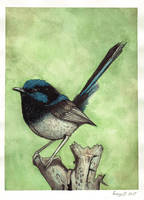 Blue Wren by LucyJOrchard