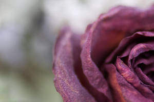 The dying rose by brayden1313