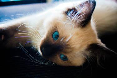 Berlioz Ragdoll Kitten Blue by MaskedMouchacho