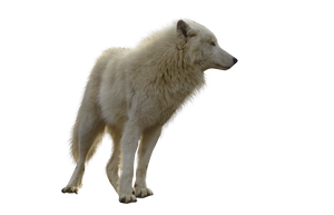 Precut Wolf PNG stock ressource by VoodooCabaret
