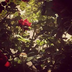 Roses in my garden by CreoleFleur